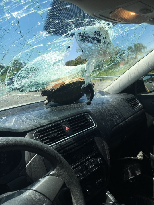 "Email One woman got the shock of a lifetime after a turtle crashed through her windshield on a Florida highway. The turtle was propelled through the air on I-4 in Deltona and crashed into Nicole Bjanes' windshield as she was driving at about 75 miles an hour on Monday afternoon. Miraculously, the turtle and the driver both walked -- and, in one case, swam -- away mostly unscathed. Florida Highway Patrol officers responding to the scene explained, ""A vehicle in front [of Bjanes' car] ran over the turtle. The turtle was thrown airborne and struck the windshield ... shattering it."" Bjanes said she saw the debris in the road, but did not realize it was actually a turtle. The reptile came flying through her windshield, bounced off the passenger seat, and then landed on her dashboard. She was treated at the scene for minor cuts by EMS. In a Facebook post, a shell-shocked Bjanes wrote that despite wanting to keep her new, albeit unexpected, friend, ""The turtle was okay and we put it back in the water."" According to FHP Sgt. Kim Montes, the turtle was placed in a pond adjacent to the interstate and swam away unharmed. The car's windshield has since been fixed as well."
