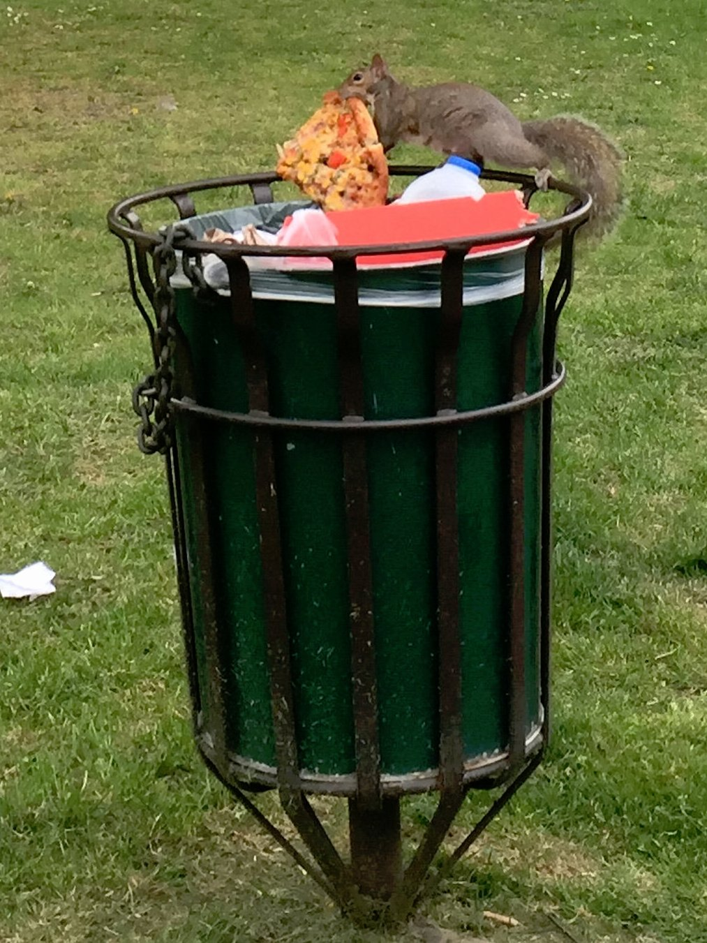 """A sales manager from south London managed to snap these pictures of a hungry squirrel tucking into a meaty pizza - nearly TWICE its size. See NATIONAL story NNBUSHY; The 24-year-old was taking a walk through Mortlake Green in west London on Sunday when she spotted the furry diner helping himself to the cheesy snack.  She said: """"I couldn't believe it. I was minding my own business when this cheeky little squirrel darted past me and disappeared completely into the bin and came out holding this humongous slice of pizza. """"I watched him for a minute before realising I should probably take a photo.  """"He couldn't believe his luck. He was flicking his tail like a dog and kept checking around."""