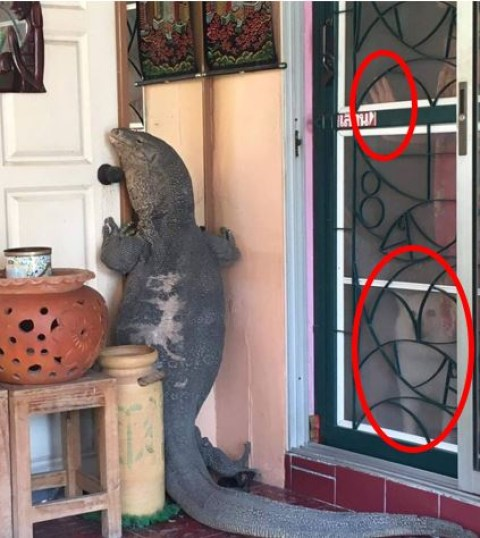 Giant monitor lizard at the door of house in Thailand, trying to get