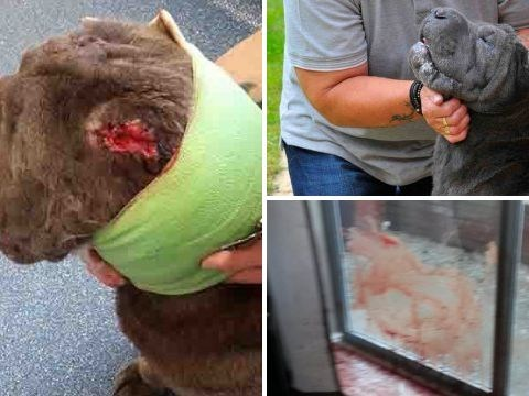 Dog helps jail burglar who stabbed her repeatedly in vicious break-in