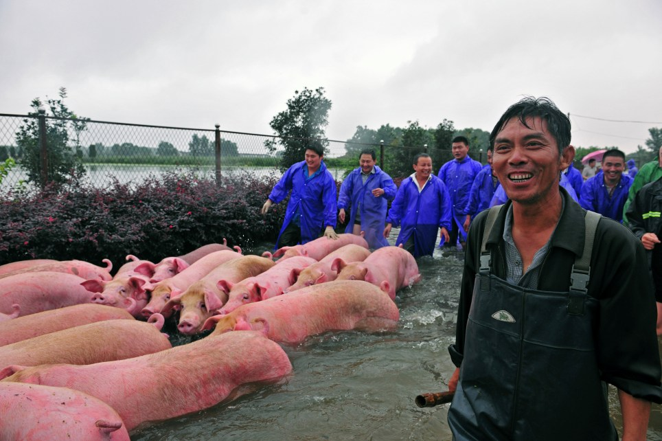 People drive pigs as they save them from a flooded farm in Lu'an, Anhui Province, China July 5, 2016. Picture taken July 5, 2016. REUTERS/Stringer ATTENTION EDITORS - THIS IMAGE WAS PROVIDED BY A THIRD PARTY. EDITORIAL USE ONLY. CHINA OUT. NO COMMERCIAL OR EDITORIAL SALES IN CHINA.