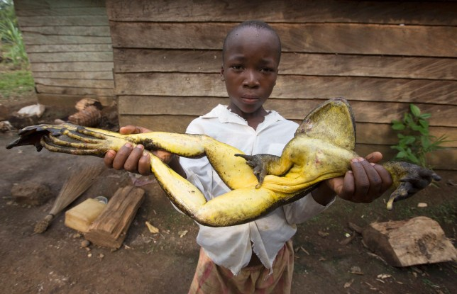 Pictured: Goliath frogs are now endangered species hunted for food. These giant frogs are the largest on Earth and weigh as much as a newborn baby - but sadly face extinction because of poachers who hunt them for the exotic pet market. The aptly named 'goliath frogs' are endemic to the fast-moving freshwater rivers in Cameroon and Equatorial Guinea. The frogs, which are as large as an average frog when they are tadpoles, can grow up to 32cm (12.6 inches) in length and can weigh up to 3.25kg. However the goliath frogs are endangered because poachers hunt them for food and to sell in the exotic pet market. Hunters take to the rivers and streams at night armed with guns and a torch - the torch is used to spot their eyes and then they are shot. SEE OUR COPY FOR DETAILS. Please byline: Cyril Ruoso/Minden Pictures/Solent News © Cyril Ruoso/Minden Pictures/Solent News & Photo Agency UK +44 (0) 2380 458800