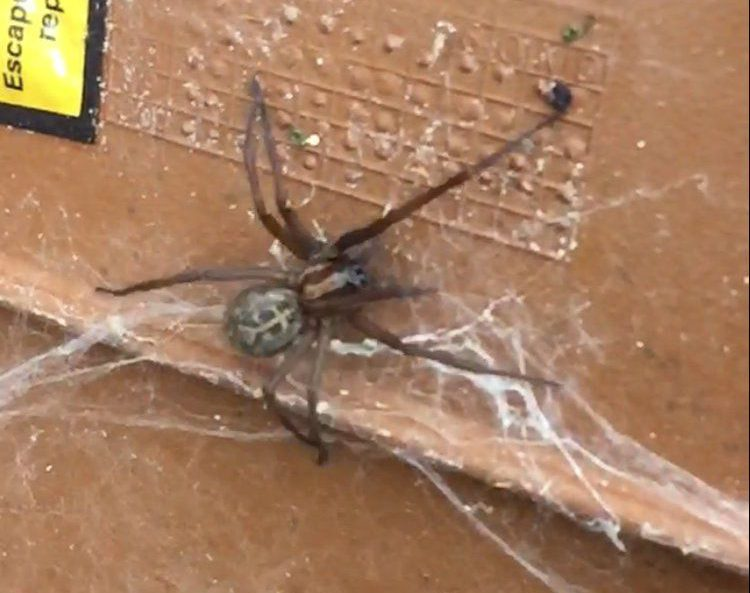 """This heart-stopping moment a gas engineer is confronted by a huge spider - the size of a MOUSE in Edinburgh. See SWNS story SWSPIDER; John Buchan, 24, discovered the '10cm-long' creepy crawly - which he believed to be a freakishly large false widow spider - lurking in a metre box. A petrifying clip, shakily recorded on his mobile phone, shows the thick-bodied arachnid extending its eight spindly legs as it scuttles around a web. Dad-of-one John, of Niddrie, Edinburgh, said: """"I opened up the external gas meter and didn't notice the spider straight away. """"Then I spotted it. It was about the size of a mouse - even bigger."""