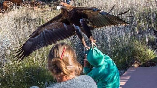Wedge Tailed Eagle attempts to take boy at Birds of Prey Show in Alice Springs Taken without permission at request of news desk