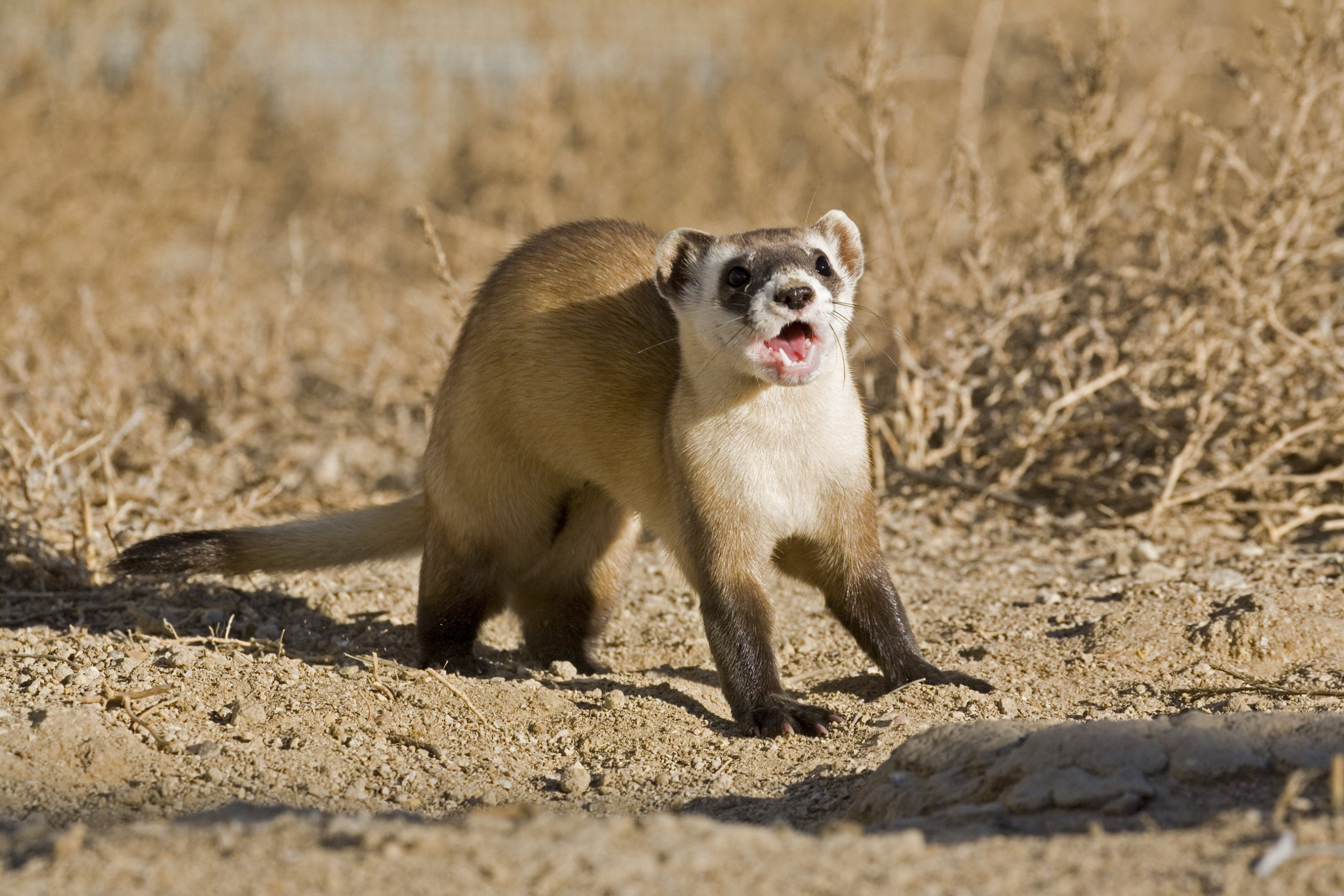 Endangered Black Footed Ferret, Mustela nigripes, which was thought to be extinct. A remnant population was discovered, which started a reintroduction program to re-establish a population on the wild prairie. South Dakota, New Mexico, Arizona, Colorado, Wyoming, Montana, Utah, Mexico, Canada. Black footed ferret, blackfooted ferret, black foot ferret, blackfoot ferret.