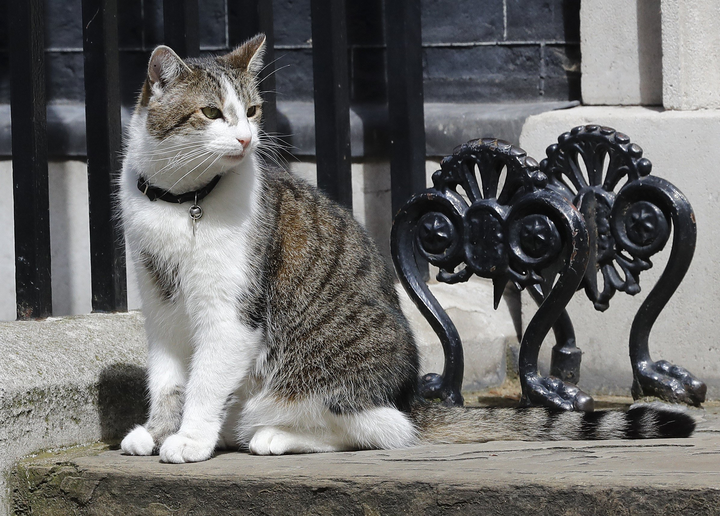 Larry the Downing Street cat sits on the steps of 10 Downing Street in London, after Britain's Prime Minister David Cameron left to face prime minister's questions for the last time Wednesday, July 13, 2016. Cameron will be appearing before Parliament as prime minister for the last time before handing over to successor Theresa May.(AP Photo/Frank Augstein)