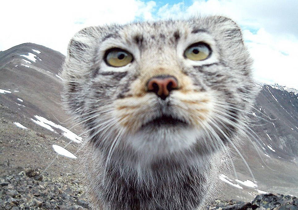 "Rare images of the world's fluffiest cat have been caught by animal protection volunteers in Siberia. The endangered Pallas's wildcats are known for their expressive faces and adorable looks but are far from tame. Native to remote regions of southern Siberia, as well as Central Asia and China, they are seldom seen, and known for their reclusive and solitary lives. ""They are secretive and do not like to be seen, making these images rather special,"" reported The Siberian Times - http://siberiantimes.com/other/others/news/n0684-look-at-me-quick-ill-be-gone-soon/ This cat was caught on camera a whisker away from an animal camera trap as it surveyed the scene in the Altai Nature Reserve in mountainous southern Siberia. The short-clawed, cave-dwelling wildcat is listed in the Red Book of the Russian Federation and the Red List of the International Union for Conservation of Nature where it has the status of ""near threatened'. ""The measures that are applied to poachers now are not strict enough"", warned Vladimir Krever, WWF coordinator on biological development. ""We don't have exact statistics on manual poaching but we know that it takes place. ""The exact number of the species is unknown because of the secretive behaviour of this species and the patchiness of its distribution."" The wildcat - related millions of years ago to the leopard and also known as a Manul cat- looks bigger than it actually is. In fact, the Pallas's cat is no larger than a domestic moggie yet has 9,000 hairs per square centimetre. Its hair can reach a length of 7 cm, and acts as protection against the Siberian cold. ENDS"