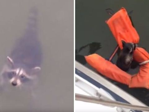 Boat crew rescue drowning baby raccoon – and it was all Peter's idea