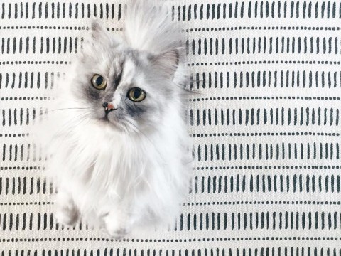Behold the beauty of Alice, the Persian mix cat with the prettiest marble fur