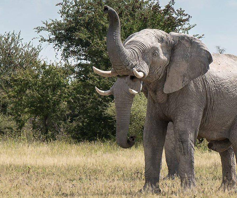 Wait, how many trunks do elephants have?