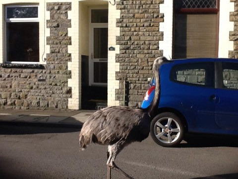 Woman spots ostrich walking down street in Wales