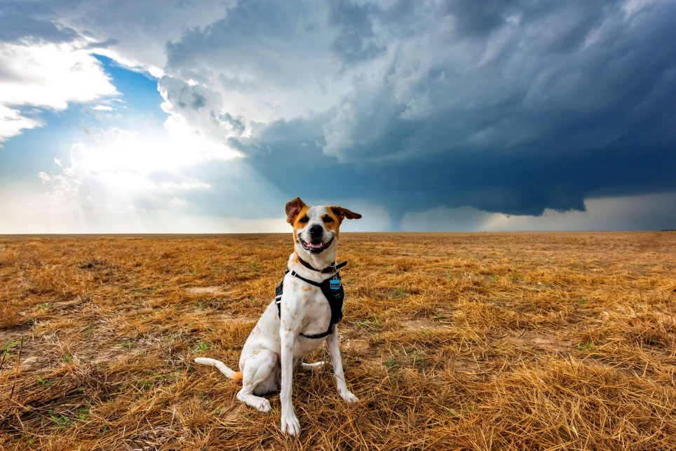 PIC BY MIKE MEZEUL /CATERS NEWS - (PICTURED: Joplin smiles for the camera while storm chasing. ) - Mike Mezeul is a storm chasing photographer from New York but his story has a twist in the tail. For the past two years Mike, 32, has been chasing storms with his best friend Joplin, a dog he rescued in 2012. Since then, they have been inseparable and together the daring duo have come face to face with over a dozen tornados. These breath-taking images were taken in Americas Tornado Valley and show Joplin grinning for the camera as she poses for photos while hugely dangerous tornados approach from behind. Mike said photographing storms combined his love for photography and his admiration for the sky. He said he had become hooked after the excitement he felt while photographing his very first storm as a teenager. SEE CATERS COPY.