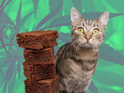 Dad accidentally eats four weed brownies, says awful things to cat