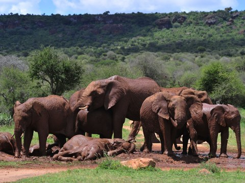 There has been a massive drop in the number of elephants