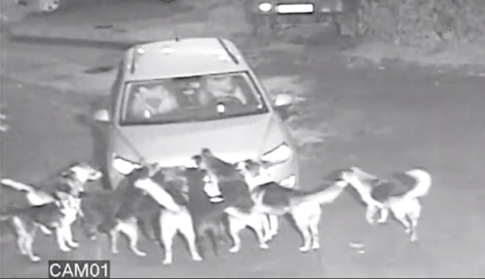 The pack of stray dogs really went for the car (Picture: CEN)