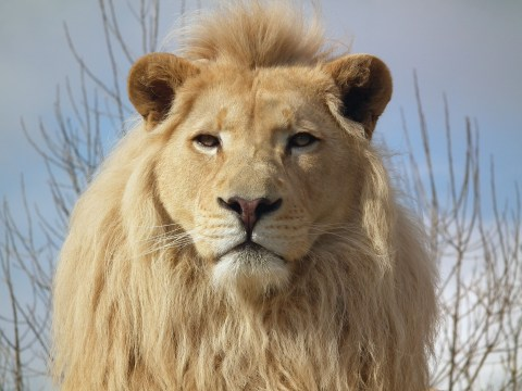Themba the rare White Lion dies in Kent on World Lion Day