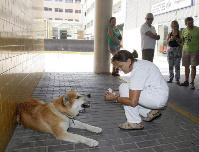 Faithful dog waits outside hospital for her owner to get better