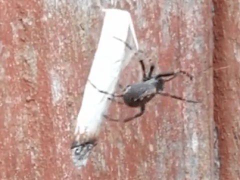 Spider hits the jackpot after discarded joint lands in web