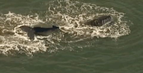 Humpback whale is freed after becoming trapped in shallow water