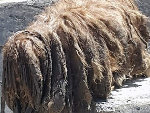 An accidentally dreadlocked dog is transformed by a haircut