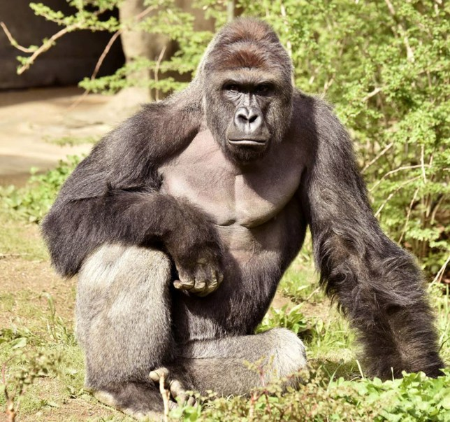 pic - reuters The Cincinnati Zoo's director says the death of a gorilla that was shot when a 3-year-old boy got into its enclosure is still drawing attention but hasn't significantly affected attendance. The killing of the 17-year-old gorilla, Harambe, sparked outrage among some people. Zoo officials said they had no choice, given the danger the animal posed to the child. The Cincinnati Enquirer (http://cin.ci/2eBFWAr ) reports Hamilton County commissioners said Monday they're satisfied with the zoo's response but want to see any internal reports or analyses about what went wrong.