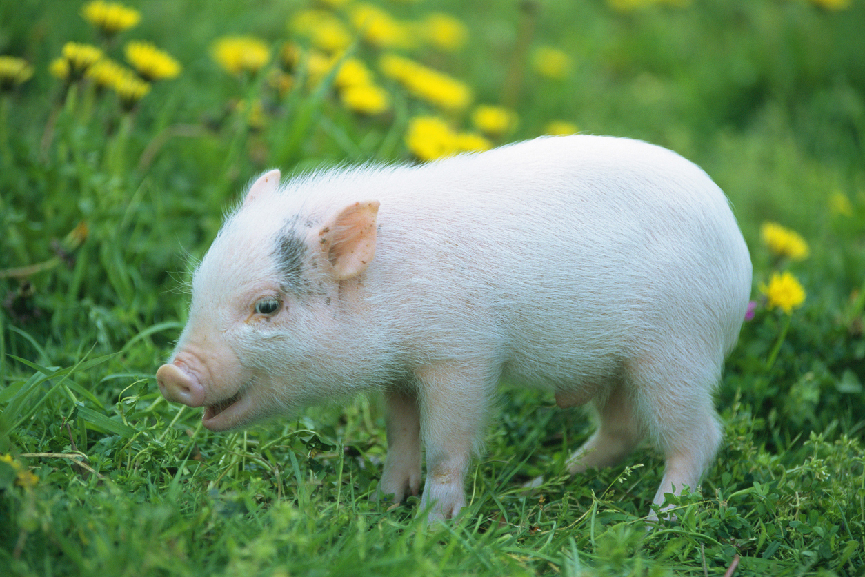 Turns out pigs can be pessimists