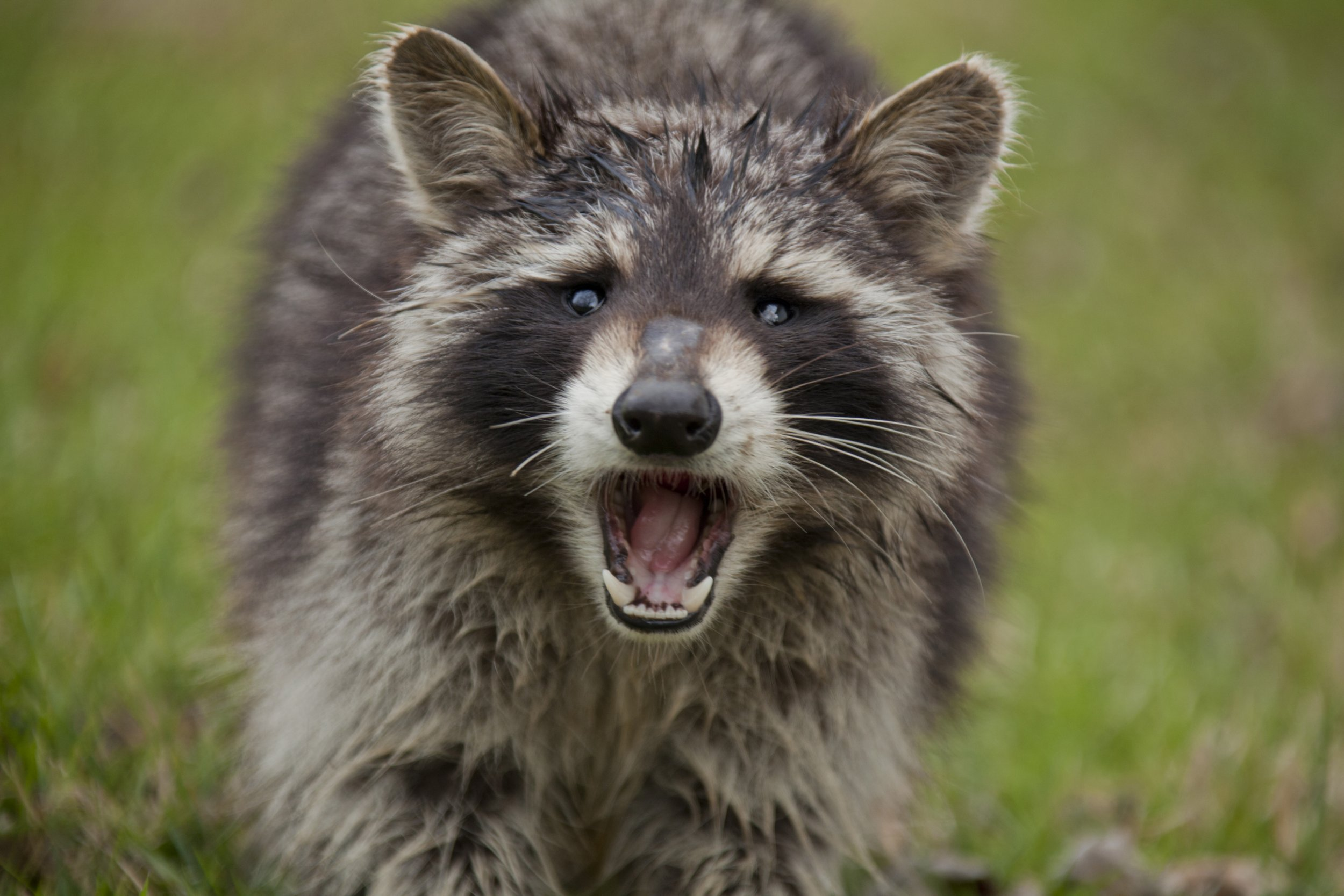 Man accidentally shot himself while fighting off a raccoon Fierce raccoon baring teeth in grass