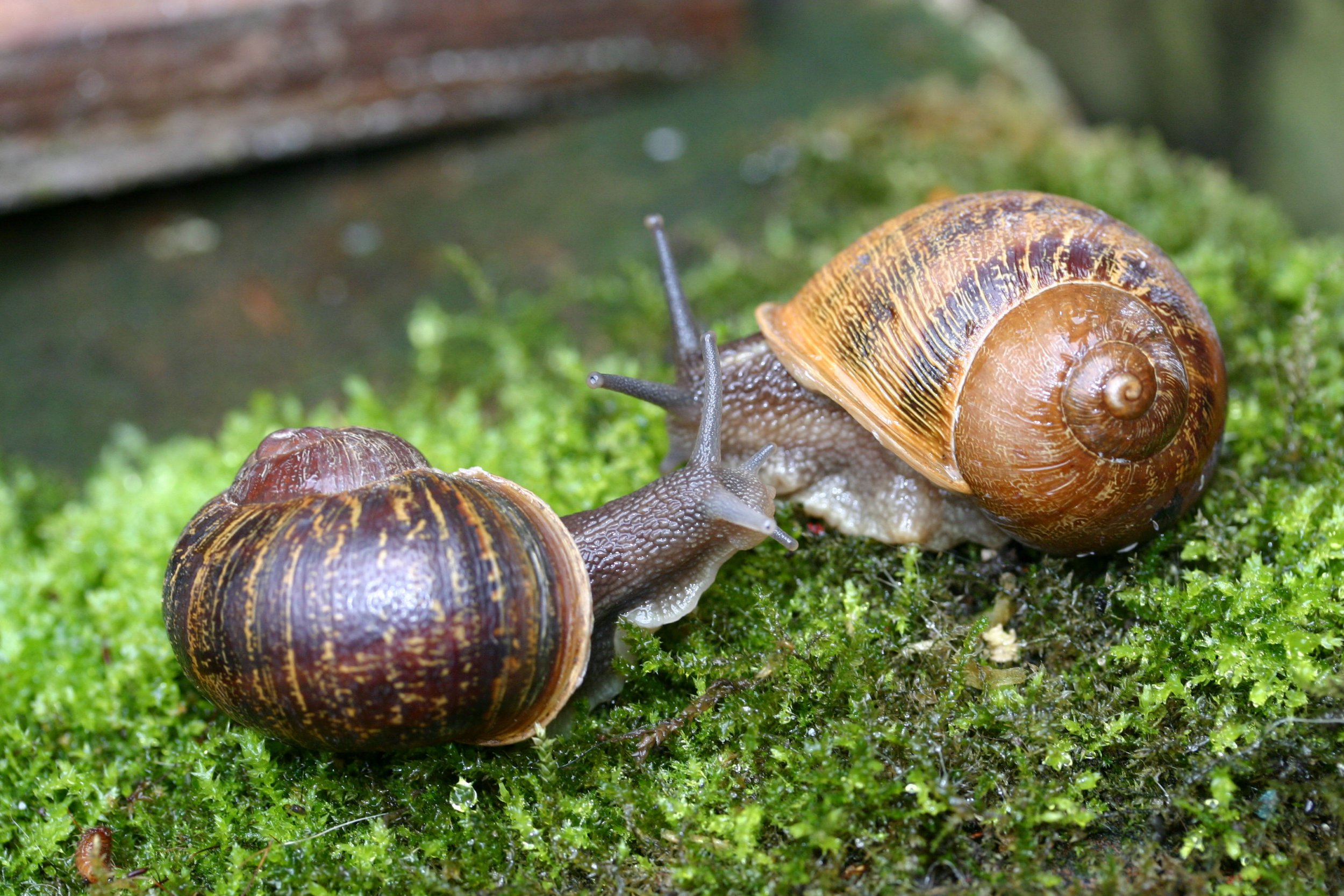 """University of Nottingham undated handout photo of Lefty (right) and Jeremy. Two potential mates have been lined up for a lonely snail after a scientist appealed to the public to help find a partner for the mollusc whose shell spirals in the wrong direction. PRESS ASSOCIATION Photo. Issue date: Tuesday November 8, 2016. The common garden snail, named Jeremy, may appear like others to the naked eye, but he was dubbed a """"one in a million find"""" as he is the mirror image of how other snails appear. Jeremy's shell spirals in an anti-clockwise direction which means he is unable to mate with snails whose shells spiral the opposite way. See PA story ANIMALS Snail. Photo credit should read: University of Nottingham/PA Wire NOTE TO EDITORS: This handout photo may only be used in for editorial reporting purposes for the contemporaneous illustration of events, things or the people in the image or facts mentioned in the caption. Reuse of the picture may require further permission from the copyright holder."""