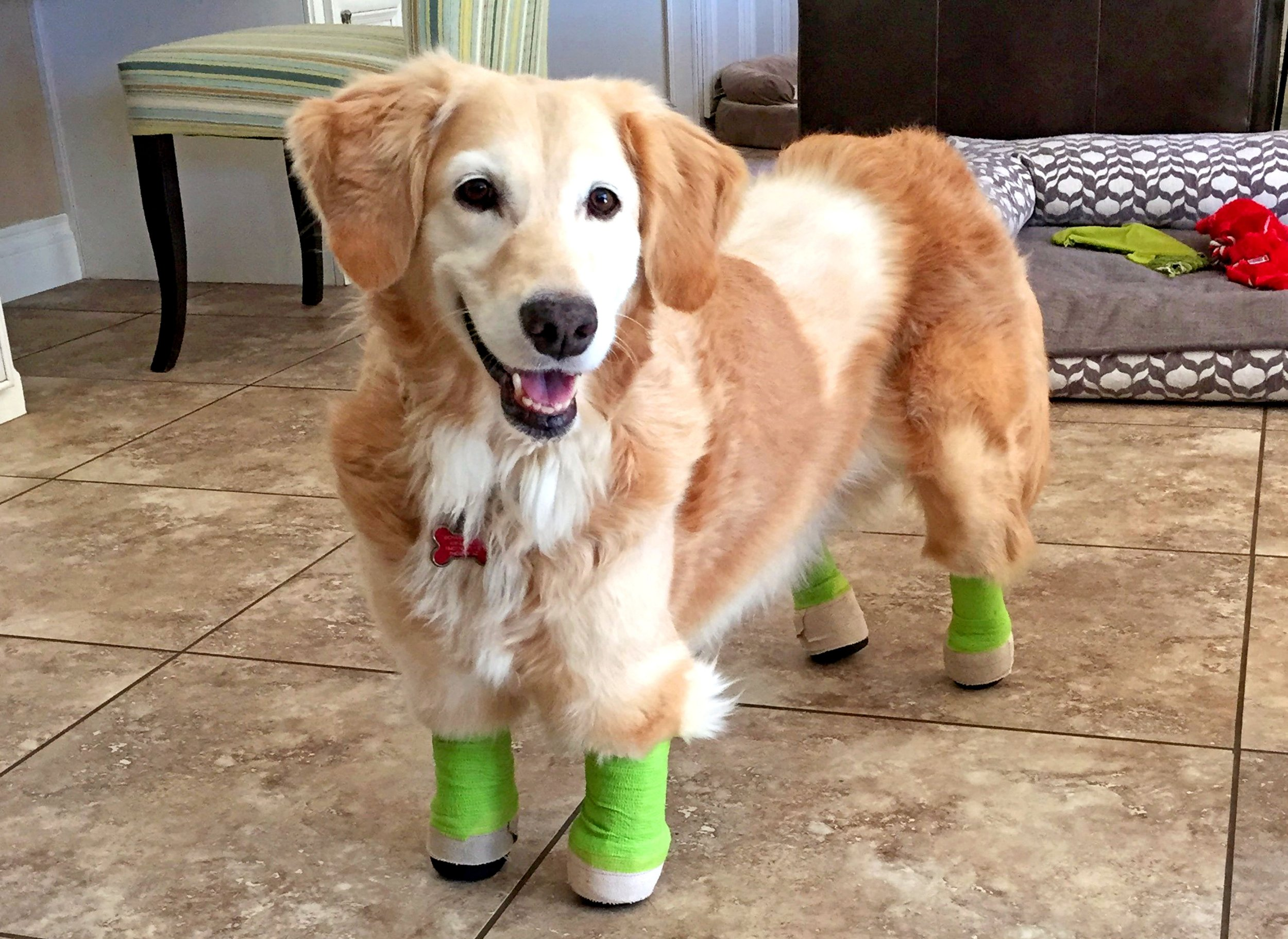 PIC FROM CATERS NEWS - (PICTURED: Chi Chi wears her prosthetics and bandages on her legs.) - A golden retriever has finally walked with prosthetics after a quadruple amputation saved her life. The adorable pooch, named Chi Chi, was left for dead outside a dog meat farm in South Korea, where she had been tied up by her paws to prepare her for slaughter. The tight bindings ate away at her flesh and after the farmers deemed her unworthy for food, she was disposed of in a rubbish bag. Thankfully, she was found by an animal welfare group and in a bid to save her life they amputated all four paws. Chi Chi was then flown 6,000 miles to Arizona, USA, where Elizabeth, 45, and Richard Howell, 44, welcomed her into their home. SEE CATERS COPY.