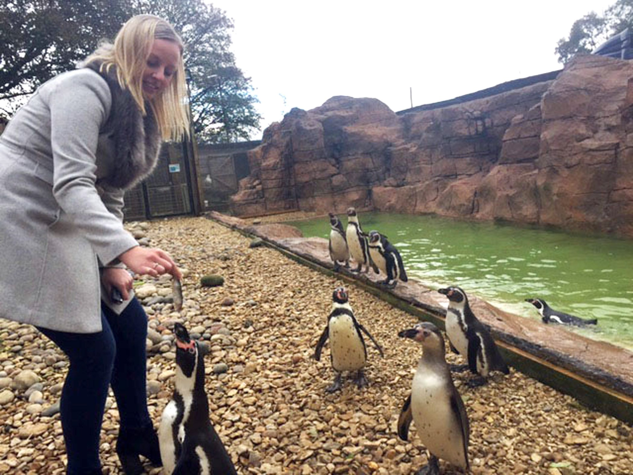 "22.11.2016: Animal welfare campaigners have criticised plans to put live penguins on show at a busy shopping centre. The birds, loaned from a penguin sanctuary in Oxfordshire (pictured), will be the star attraction at a Christmas event at the Idlewells centre, Sutton in Ashfield, Notts, on Friday. Centre bosses claim that putting the penguins on show will educate youngsters about the animals but campaigners say the penguins are ""being exploited"" as ""holiday props"". Pic supplied on spec. See copy Raymonds Press 07407 358364"