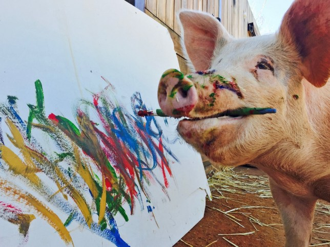 Meet Pigcasso – the painting pig who was saved from