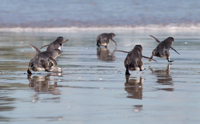 Little Blue Penguins run towards the sea after being released by wild life workers and school children at Mount Maunganui beach in Tauranga, New Zealand. The Penguins were among those affected by New Zealand's biggest sea pollution disaster when the Monrovia-flagged container ship 'Rena' ploughed into a reef on October 5. December 8, 2011. AFP PHOTO / MARTY MELVILLE (Photo credit should read Marty Melville/AFP/Getty Images)