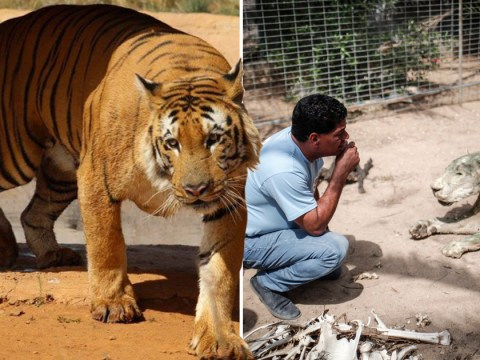 Last tiger of Palestine rescued from small cage and taunting children