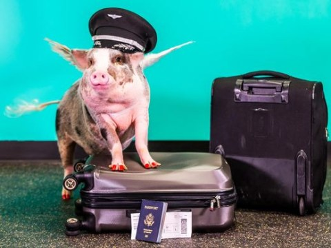 Meet the therapy pig hamming it up at San Francisco International Airport