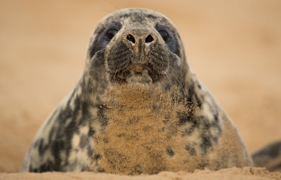 LOUTH, ENGLAND - DECEMBER 05: A grey seal pup lays in a hole on the beach near the Lincolnshire Wildlife Trust's Donna Nook nature reserve on December 5, 2016 in Louth, England. Seal numbers have continued to increase with over 1600 pups born at the reserve this year. Large bull seals are the first to arrive at the reserve in late October or early November where they will wait for females. The cow's arrive later and are herded into harems by the bulls, where they give birth to a single pup which is covered in white fur. The seals return to the North Sea in January before returning to the same area to give birth the following year. The Donna Nook reserve is the UK's premier destination to see Grey Seals and thousands of visitors from across the country come to see the wildlife spectacle every year. (Photo by Dan Kitwood/Getty Images)