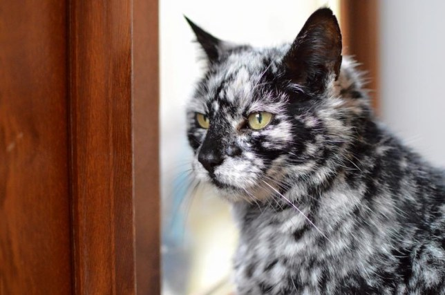 "Meet Scrappy, the cat that turned black and white. The 19-year-old turns heads thanks to the marble-like effect of monochrome patches of fur. Owner Dave Platt, a builder from Yorkshire, explains: ""Scrappy was jet black as a kitten. But when he was seven my mum was looking after him and rang me to say a white patch had appeared on his head. We took him to the vet as we thought he might have had a stroke. At that time, the vet couldn't explain what was causing it. In the next few years, Scrappy began to get more and more white patches, then it slowed down. But in the last three or four years it has started again. More recently, a vet identified that Scrappy could possible have vitiligo. We don't know, but he may turn completely white."" Vitiligo is the same condition that caused Michael Jackson's skin to lighten. More common in humans, the long-term condition sees pale white patches develop on the skin. It is caused by the lack of melanin, a pigment in the skin. Dave says: ""People started noticing Scrappy's unusual appearance when he went out and would come to see him; even the postman takes pictures. People seem to love cats so it is nice that people around the world might get to enjoy pictures of him. He is getting on a bit in age but is still active and playful. That said, he does have his grumpy moments, as I guess we all do in old age. He doesn't mind having his picture taken, but it is definitely him who decides when he wants to be photographed. A little bit of chicken usually aids the process. Can he handle fame? Well, Scrappy is a bit of a diva sometimes. "" Where: Yorkshire, United Kingdom When: 16 Dec 2016 Credit: David Platt/Cover Images **All usages and enquiries, please contact Glen Marks at glen.marks@cover-images.com - +44 (0)20 3397 3000**"