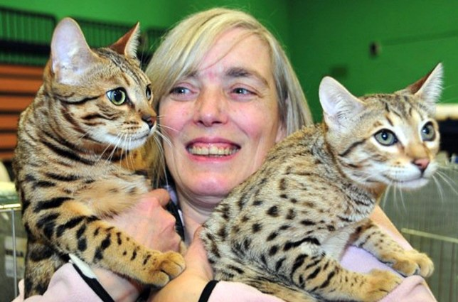 INS News Agency Ltd...27/12/2016 *************** Picture by Emma Sheppard *************** An award-winning cat breeder has been banned from keeping animals at her home for three years after the RSPCA found up to 70 neglected cats in ìunhygienicî and ìchaoticî conditions. Elizabeth Richmond-Watson raised Bengal cats at her business for more than 14 years but fell foul of an RSPCA inspection. See copy INScats