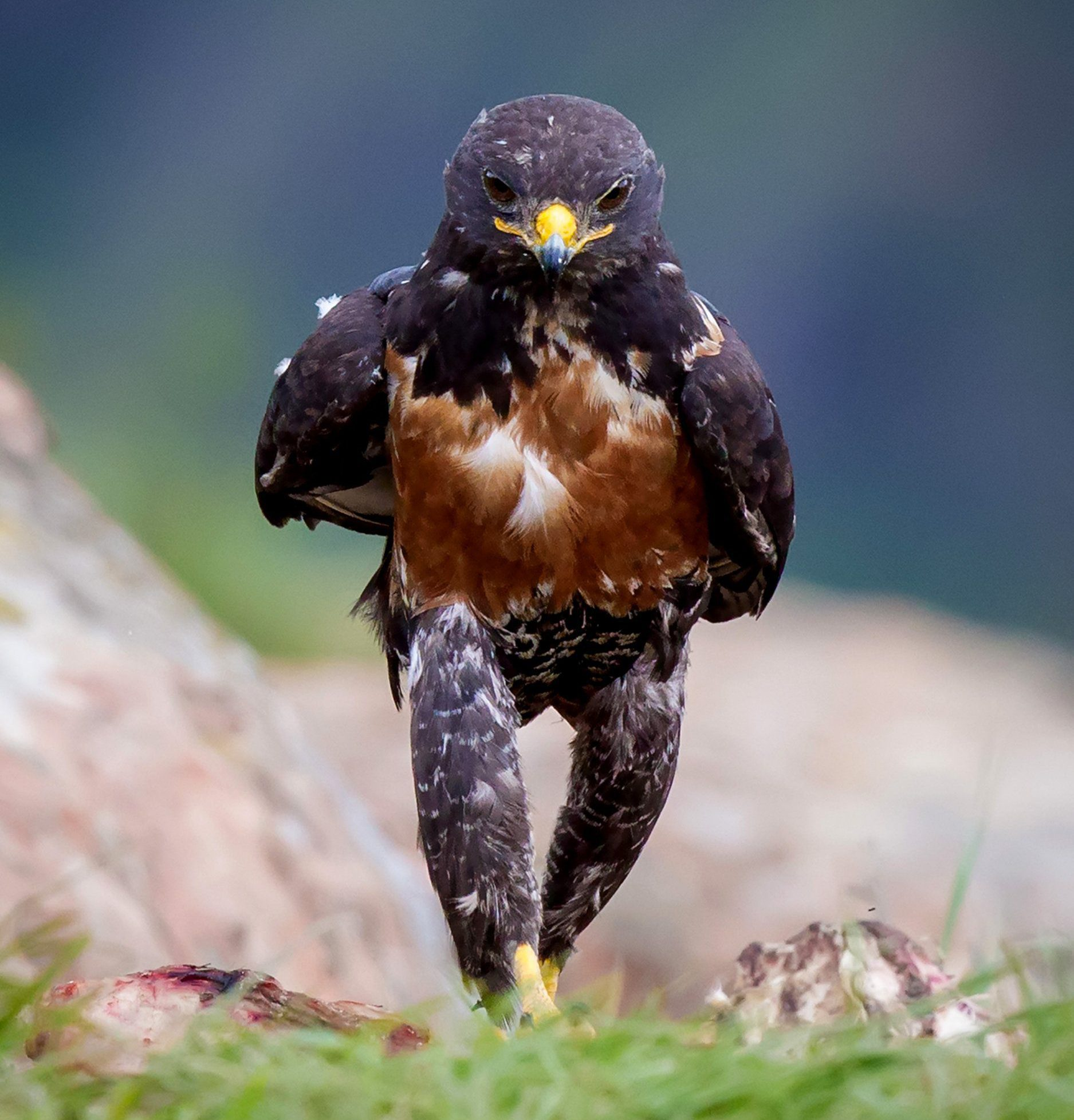 PIC BY CLINT RALPH / CATERS NEWS - (PICTURED: A hench hawk who clearly didnt skip leg day.) - Now thats what you call animal magic! This collection of images showcases the very best in wildlife photography - capturing everything from the incredible to the downright ridiculous. From two bears wrestling each other as they fish for salmon to a very angry looking bird, the animal kingdom has certainly given us plenty to wonder at in 2016. END.