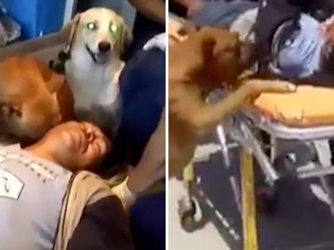 Loyal dogs refuse to move from injured owner's side in ambulance