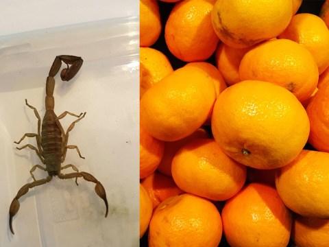 Horrified schoolgirl discovers Deathstalker scorpion in supermarket tangerines