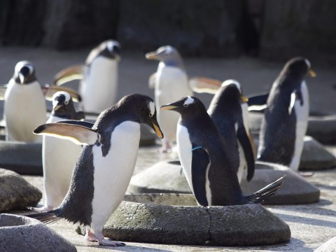 Edinburgh zoo penguin parade suspended over bird flu fears