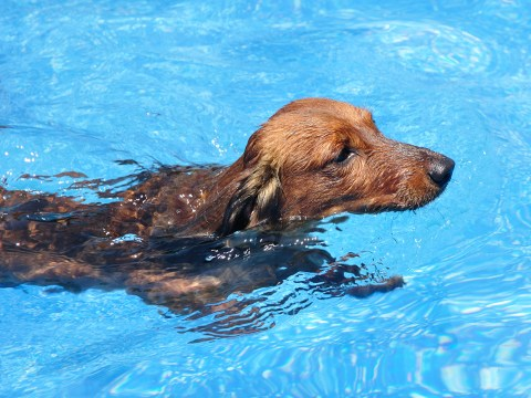 Drowning sausage dog saved when home alarm mysteriously started going off