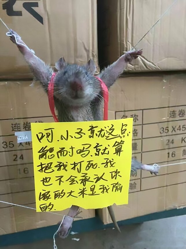 "Pic shows: The rat tied up; A set of viral photos shows how a rat was tied up and shamed after being caught stealing rice from a corner shop. The pictures are reminiscent of the infamous ""struggle sessions"" during Chairman Maoís Cultural Revolution, when those classed as enemies of the state would be publically humiliated or even executed. According to a netizen identified by the handle ""Jiulianshanshezhang"", the grey rat was caught by one of his friends who runs the corner shop in Heyuan Cityís Lianping County, in South Chinaís Guangdong Province. The netizen, aged 29, said the friend found the rodent helping itself to a bag of rice, but instead of killing the animal he captured it alive and tied it up. The incredible pictures, which were later uploaded to Chinaís Twitter-like microblogging site Sina Weibo, show all four of the ratís feet bound by tiny strings as its body is spread out against a stack of cardboard boxes. Yellow notes are also hung around the animalís body, with one saying: ""I am only capable of so much. Even if you beat me to death, I will never admit that I stole your rice."" In the next photo, the poor animal seems to have changed its stance following what is assumed to be a period of physical torture, saying: ""I swear Iíll never do it again!"" It is unclear what became of the rat in the end, but Weibo users have assumed it was met with the worst fate."