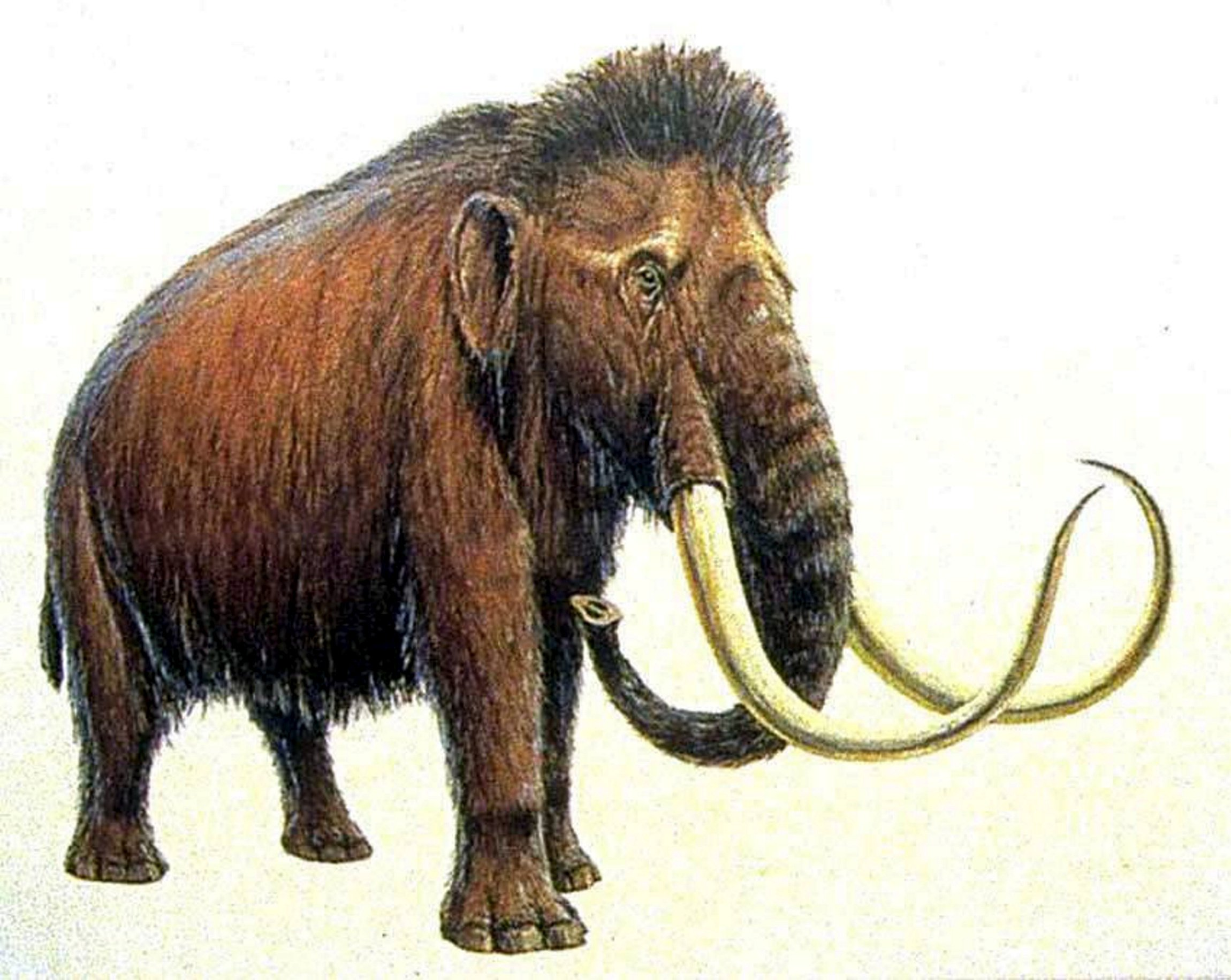 A woolly mammoth. See Masons story MNFOSSIL; A metal detector who stumbled across a phallus-shaped fossil on a beach has prompted claims it could be a mammoth's PENIS. Robert Mee unearthed the six centimetre find on the same stretch of coastline where the skeleton of a mammoth - often referred to as an elephant - was discovered 27 years ago. He made the surprising discovery in Hunstanton, Norfolk - just 30 miles from where the West Runton mammoth last walked more than 700,000 years ago. Robert later shared his find on Facebook appealing for help in identifying it.