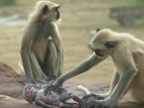 Distraught monkeys mourn death of robotic monkey spying on them