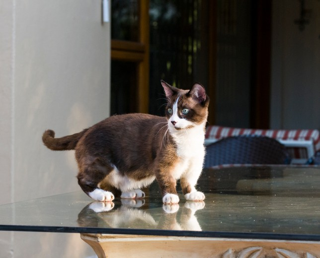 Munchkin cats have short limbs due to a genetic disorder (Picture: Getty)