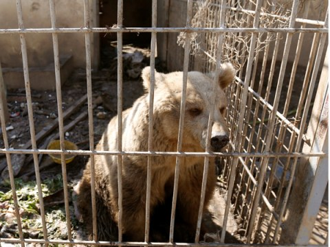 The lion and bear rescued from a besieged Iraq zoo are looking much better