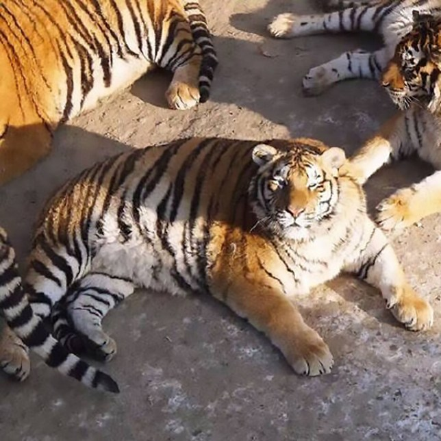 """Pic shows: Older photos of the fat tigers in Harbin, China; By Scott Feng A set of hilarious photos now going viral online shows how a group of endangered tigers have been letting themselves go and are now extremely fat and bloated. The otherwise swift and nimble Siberian tigers (Panthera tigris altaica) can now only lounge around on the ground as they haul around their giant tummies, made big by caretakers giving them a constant supply of fresh meat. The rare cats are all living in captivity at the Siberian Tiger Park in Harbin City, capital of north-eastern Chinaís Heilongjiang Province, where the majority of them were born and hand-reared by breeders. The facility is the worldís largest and foremost institution for the speciesí conservation efforts, which have been a tremendous success over the years. The animals live such a comfortable life, it seems, that they can even afford to fatten themselves up for the winter, to the degree now being illustrated in the viral snaps. While their kin in the wild may not have the luxury because of the scarcity of prey in the winter season, these lucky cats need not worry about any shortages of food. Visitors at the park, as well as netizens on social media site Sina Weibo, have expressed concerns over the Siberian tigersí apparent """"obese"""" state, but breeders have assured them that there is nothing to worry about. Staff at the park said it is common for the tigers to put on weight, especially as temperatures in Harbin reach a bone-chilling minus 30 degrees Celsius in the winter. The excess weight helps keep them keep warm, and it is usually shed by the time spring and summer come around. The Siberian Tiger Park boasted more than 90 tiger cub births in 2016 and continues to lead conservation efforts for the species, classed as """"Endangered"""" by the International Union For Conservation of Natureís Red List of Threatened Species. The cats are native to north-eastern China, the Russian Far East, as well as parts of North Korea, with """