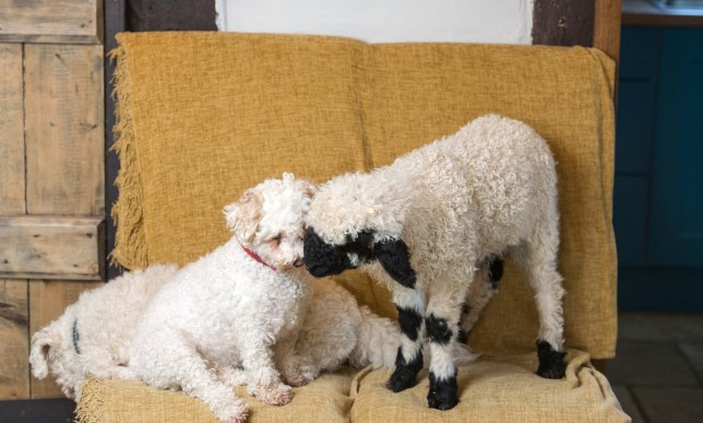 BNPS.co.uk (01202 558833) Pic: TomWren/BNPS Barry makes friends with Poppy. Top dog... Baaa-king mad? It's a dogs life for 'Barry the lamb' - The precious Valais Blacknose lamb is being hand reared by owner Emma Childs after being rejected by his mother. Emma took Barry the lamb into her home last month so she could bottle-feed him round the clock after his mum rejected him as a newborn. Barry, now four weeks old, is a valuable rare Valais Blacknose, a breed that was only introduced to the UK from the Swiss Alps in 2014.
