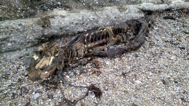 Skeleton of Cornish sea serpent Morgawr 'washes up on beach